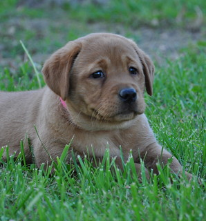 Fox Red Red Moon Labradors
