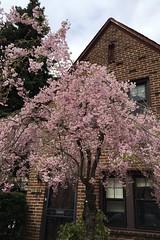 金, 2015-04-24 11:37 - しだれ桜 cherry blossom