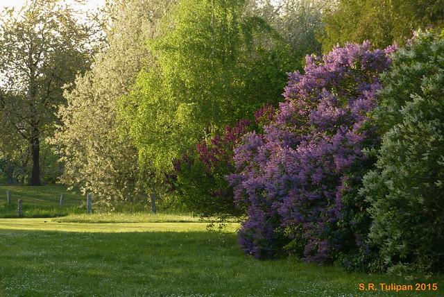 Britzer Garten Tulipan 06.05.2015  95