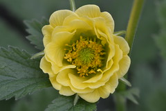 GEUM 'Lemon Delight'