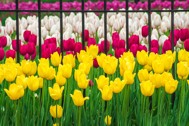 Tulips, Tulip Festival, Pella, IA, Yellow, Red, Purple, White