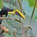 Black-mandibled toucan – Toucan tocard - Tucán pico negro  - Ramphastos ambiguus by elgalopino
