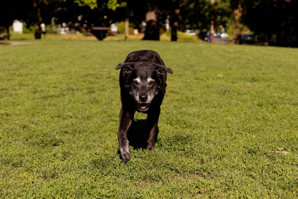 Our elderly black lab walks towards me in the dog park