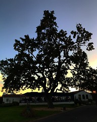 Giant oak. #ojai #ojaivalleyinn #dusk  #oak