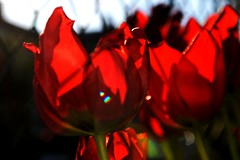 red tulips | Rote Tulpen