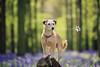 Hertfordshire Pet Photography | Bracken at Bluebell Woods