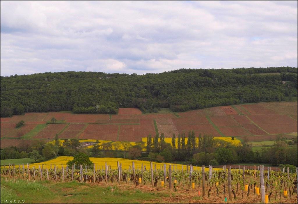 Tapis jaune dans le vignoble 16682777233_0e45cb4436_b