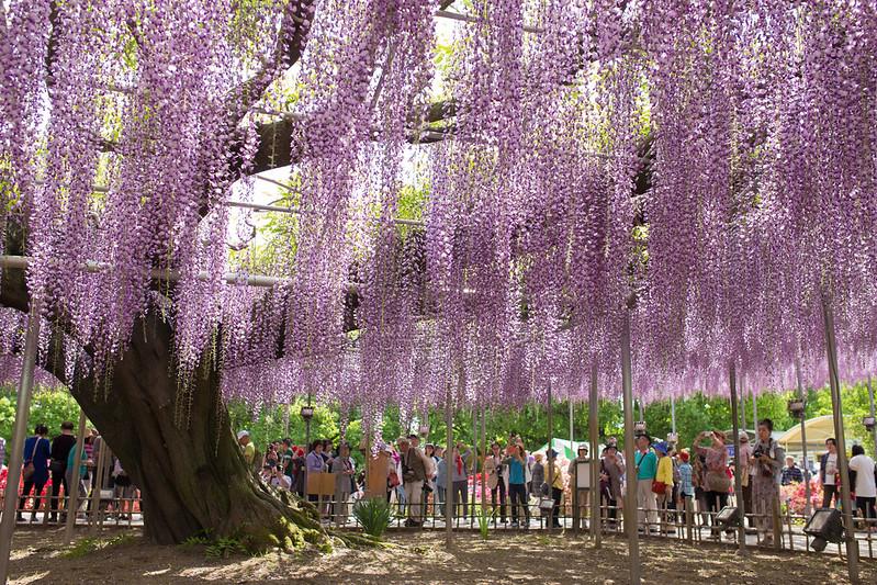 ashikaga_flowerpark-13