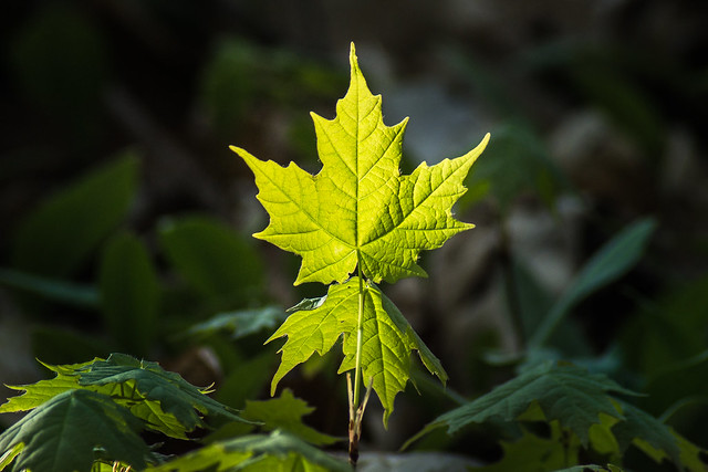 Maple, Leaf, Maple Leaf, Green, Forest, Spring, Sapling