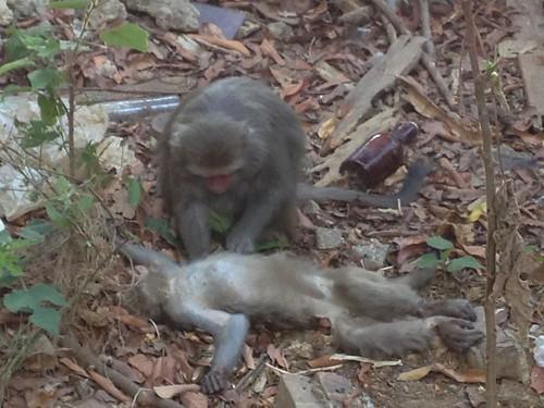 不知小猴死亡,猴親仍為其梳毛,期待喚醒小猴。