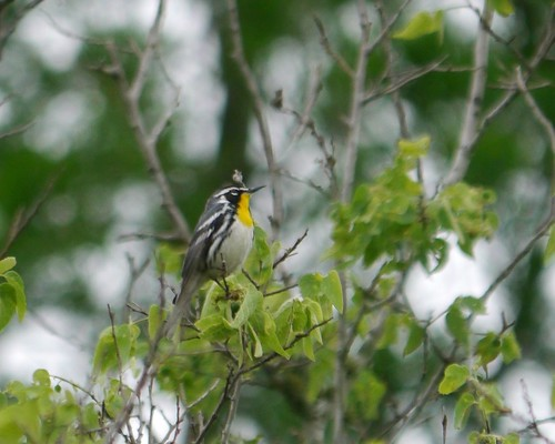 Yellow-throated Warbler - 1