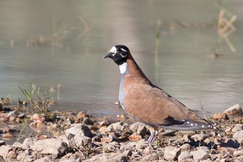 male Flock Bronzewing