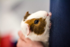 nose, animal, guinea pig, rodent, pet, close-up, whiskers,