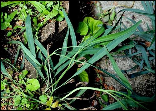 Falcaria vulgaris (= Falcaria rivini) - falcaire commune  28247248701_04a8a36508