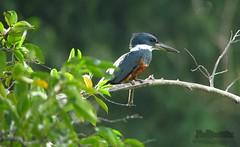 Ringed kingfisher Megaceryle torquatus