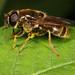unID Cheilosia sp. by terraincognita96