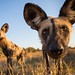 African Wild Dog by Burrard-Lucas Wildlife Photography