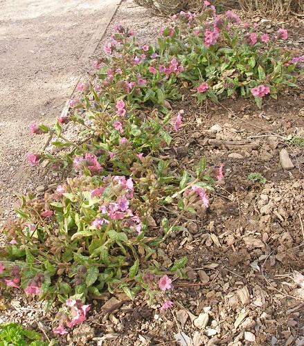 Pink lungwort in Leechwell Garden