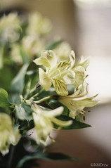 Astroemeria - Peruvian Lily