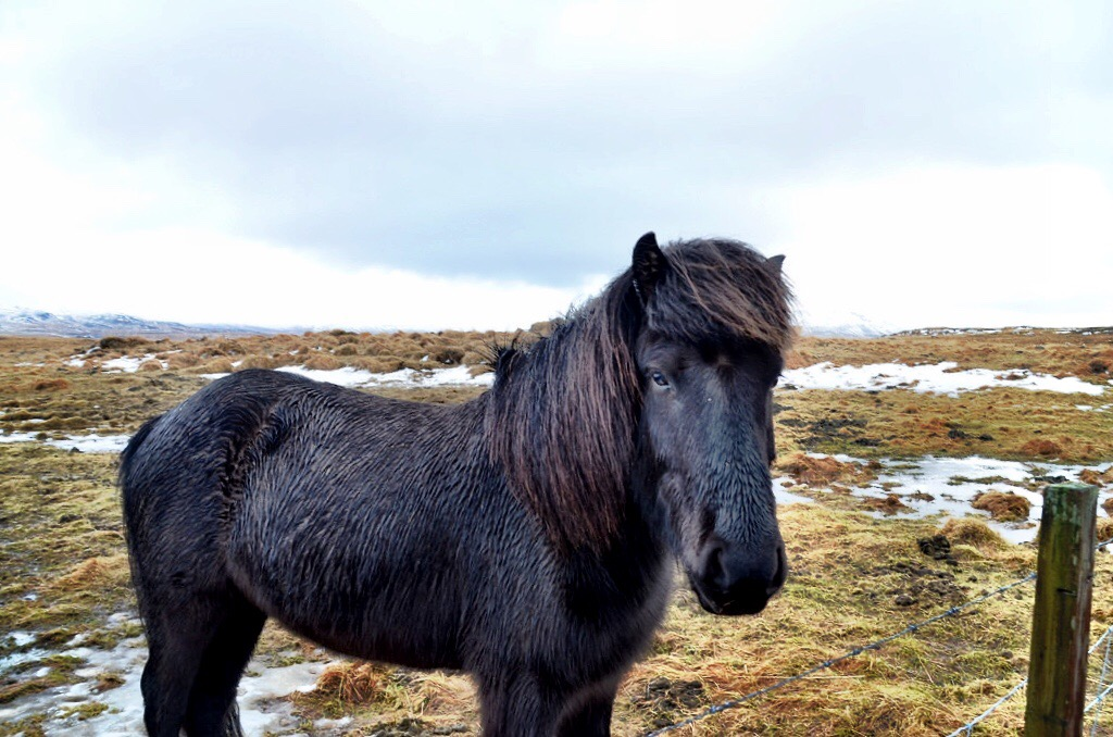 The Icelandic Horse Cutest Reason To Visit Iceland