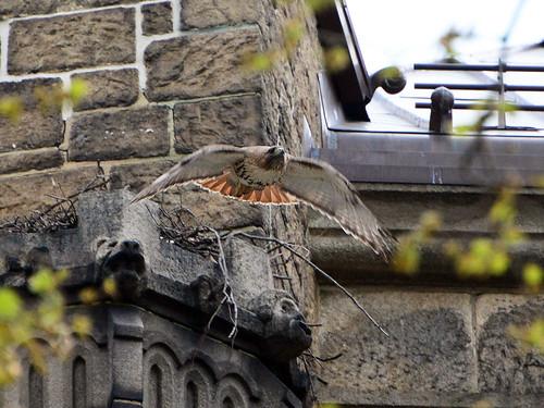 Cathedral Hawk - 9479