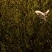 Hunting barn owl by markrellison