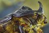 Dynastinae, rhinoceros beetle 2
