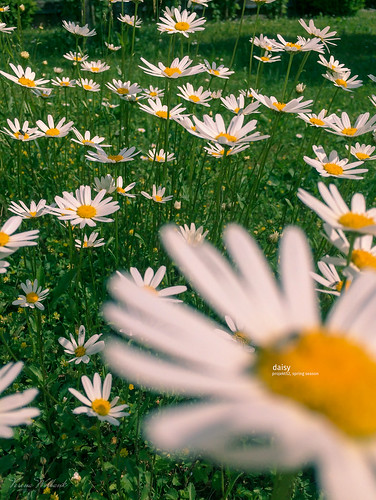 20/52 - daisy, spring season
