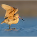 Marbled Godwit by BN Singh