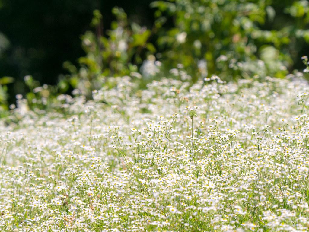 昭和記念公園の花畑