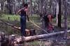 Cutting piit props, West Wallsend region, NSW, March 1981