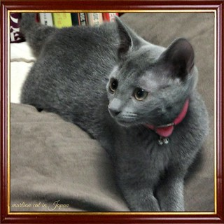 Marin is starting to look like a lovely Russian Blue little girl.