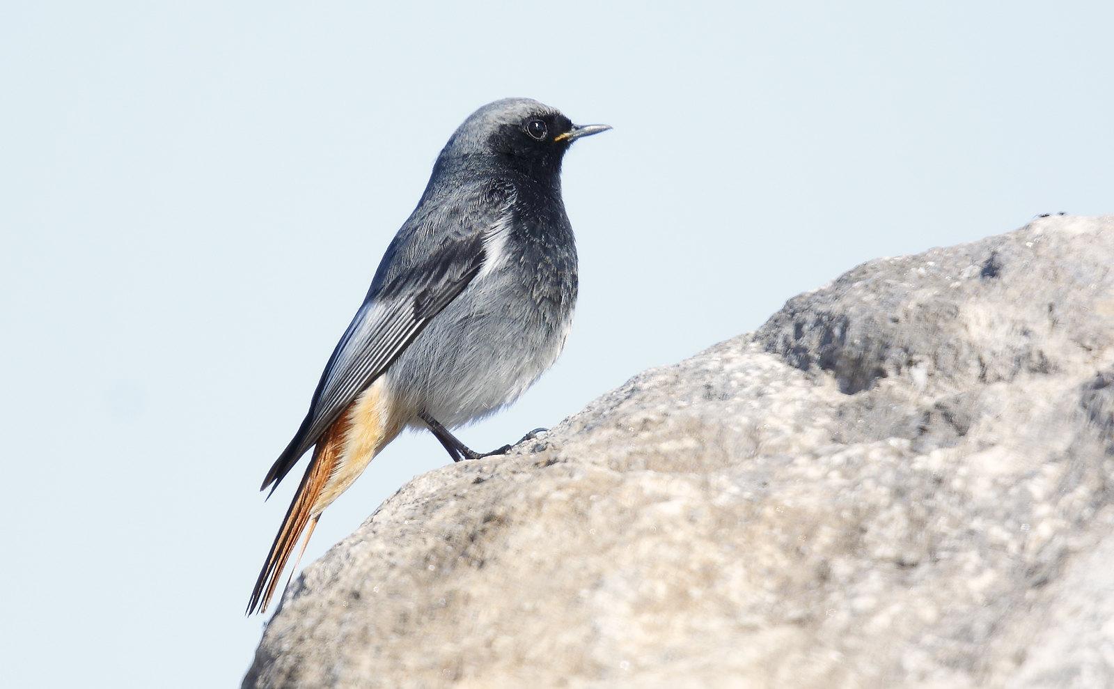 Male Black Redstart