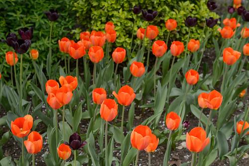 FilipWolak-LSBID-Tulips-6742