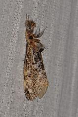 Tussock Moth Locharna limbata