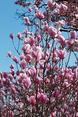 flower, branch, magnolia, lilac, flora, spring, pink, petal,