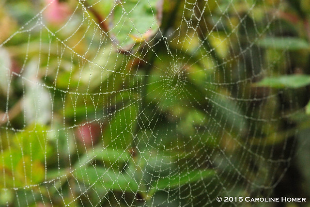 web on rose