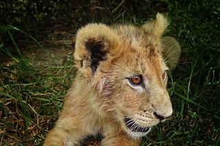 lion cub at rest