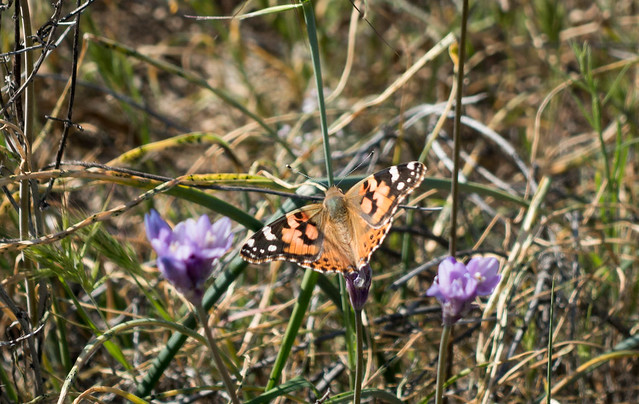 Painted lady butterfly, m339