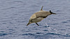 Long-beaked Common Dolphin, Sea of Cortez by bfryxell