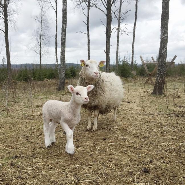Den här killen är 12 dagar, nyfiknast av 4 små lamm. Underbara 💚 #lamb #sheep