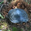 Female slider laying eggs
