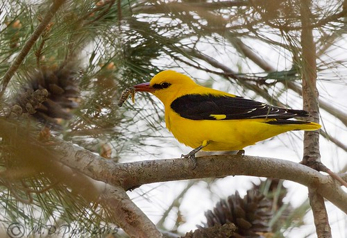 male bird nature birds ngc greece npc crete ornithology birdwatcher martinparr lyttos blackandyellow goldenoriole oriolusoriolus martindparr mdparr
