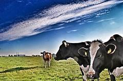 Cows in a Dutch landscape
