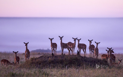 Herd of impalas in Masai Mara National Reserve, Kenya