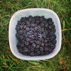 The fruits of our foraging! #blackberries #summer