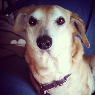"Sophie says Good Morning IG... Or maybe it's, ""u gotz cooookiez fer mez?"" #rescuedog #houndmix #dogstagram #muttstagram #instadog #adoptdontshop #rescued"