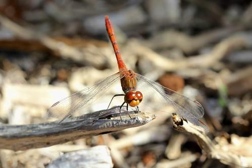 Red Arrow (Rhodothemis lieftincki)