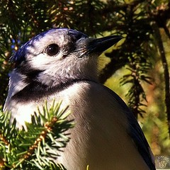 Blue Jay profile. #bns_birds #ig_birds #ig_closeups #ig_clubbirds #ig_divineshots #ig_birdwatchers #ig_great_pics #macroclique #macro_holic #macro_freaks #macroworld_tr #macro_captures #macroaddictsanonymous #macro_mood #all_mighty_birds #feather_perfecti