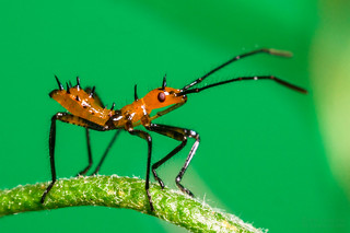 Leaf-Footed Bug Nymph - El-Nikkor 50mm